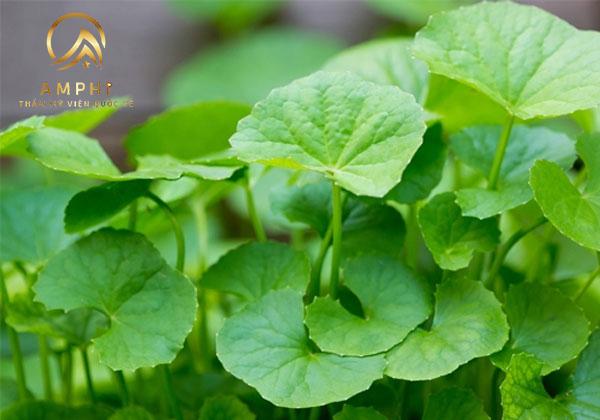 Bất ngờ trước hiệu quả trị mụn rau má siêu đơn giản